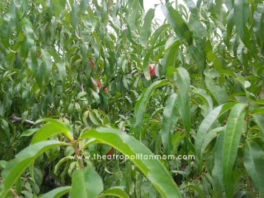 peach orchard - Peach Tree with ripe peaches