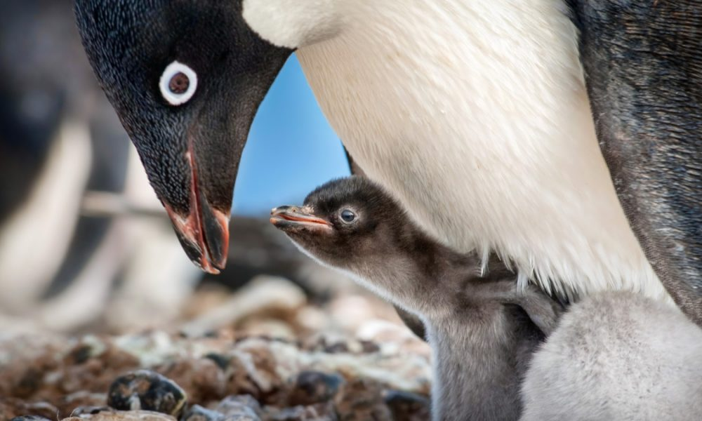 "Disneynature ""Penguins"" Disneynature 'Penguins' Review"